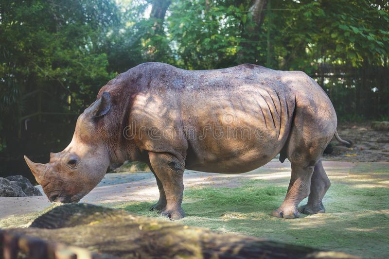 Wild animal in nature. Huge wild white rhino in natural environment stock images
