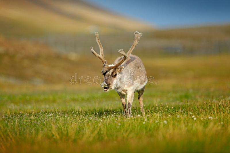 Wild animal from Norway. Reindeer, Rangifer tarandus, with massive antlers in the green grass and blue sky, Svalbard, Norway. Wildlife scene from north of stock images