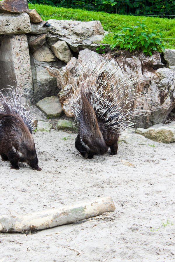 Wild animal porcupine in wilderness royalty free stock photography
