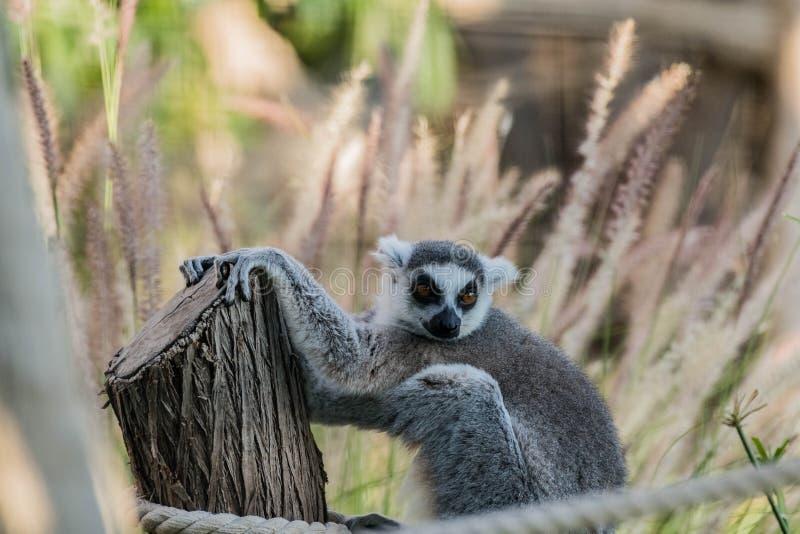 Wild Animal Ring-Tailed Lemur in Al Ain Zoo Safari royalty-vrije stock fotografie