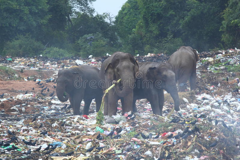 Wild animals and ecology. Group of wild elephants looking for the food in the middle of dumping ground (Sri Lanka, Trincomalee royalty free stock photos