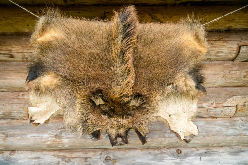 Wild animals fur boar hanging on the wooden home wall outside royalty free stock image