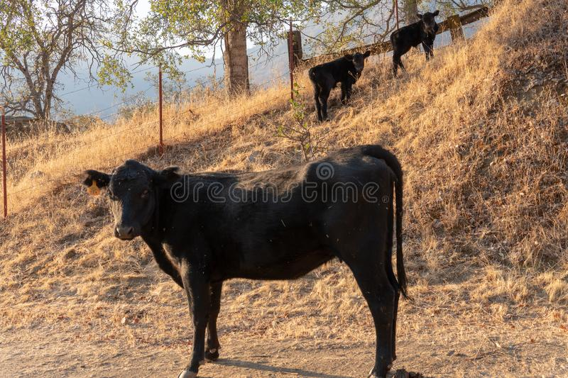 A cow with her two calfs royalty free stock photography