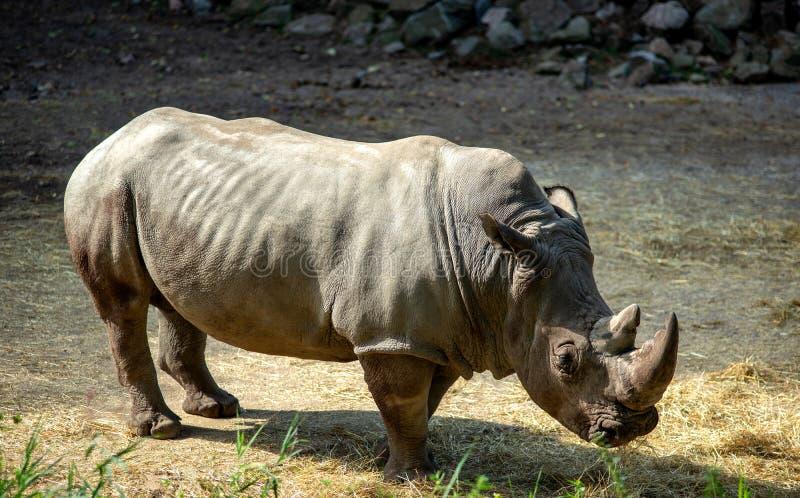Wild animals. Wild nature. Rhinoceros. royalty free stock image
