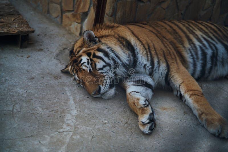 Wild animals, a zoo, a tiger asleep, wildlife.  stock photography