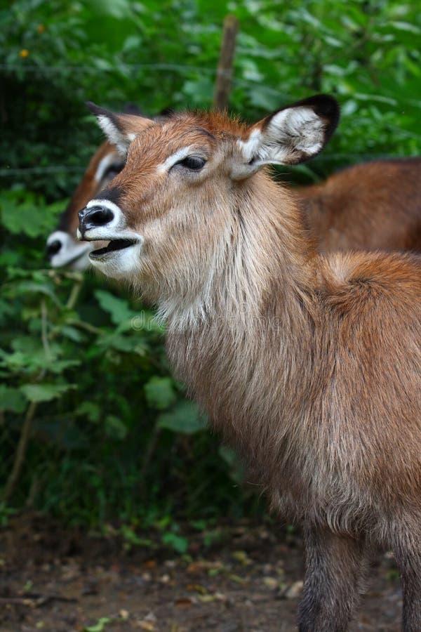 Download Wild Antelope stock photo. Image of animal, mammal, nature - 15074186