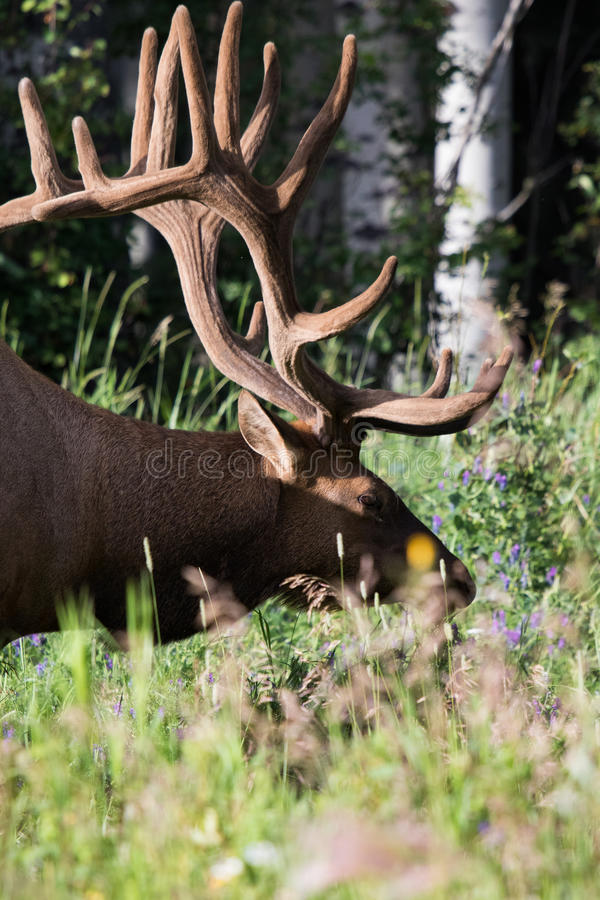 Wild Antlered bull Elk or Wapiti (Cervus canadensis) grazing Banff National Park Alberta Canada. Wild Antlered bull Elk or Wapiti (Cervus canadensis) grazing in royalty free stock image