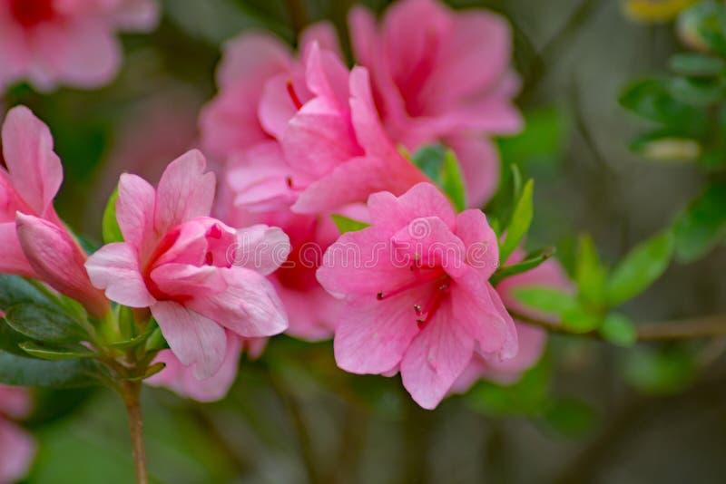 Wild Appalachian Mountain Pink Azalea royalty free stock image