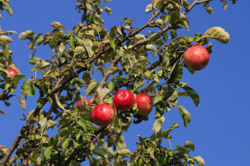 Wild apple royalty free stock photo
