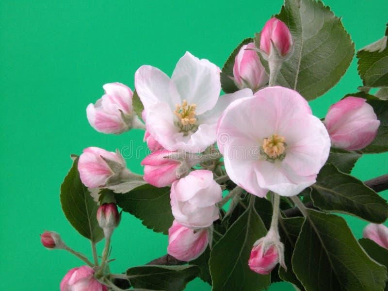 Wild apple blossom stock image