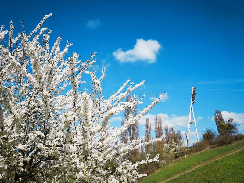 Wild apple tree in bloom in Mauer Park, Berlin, Germany. Wild apple tree in bloom on a bright day in Mauer Park, Berlin, Germany stock image