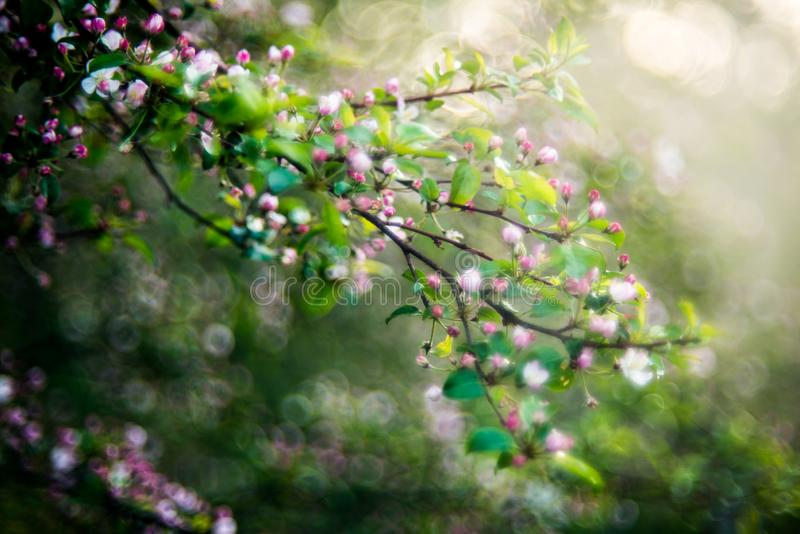 Wild apple tree blooming in spring stock photo