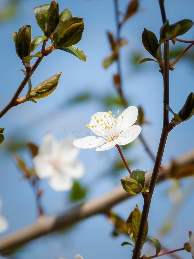 Wild Apple tree blossom closeup. Spring season stock image