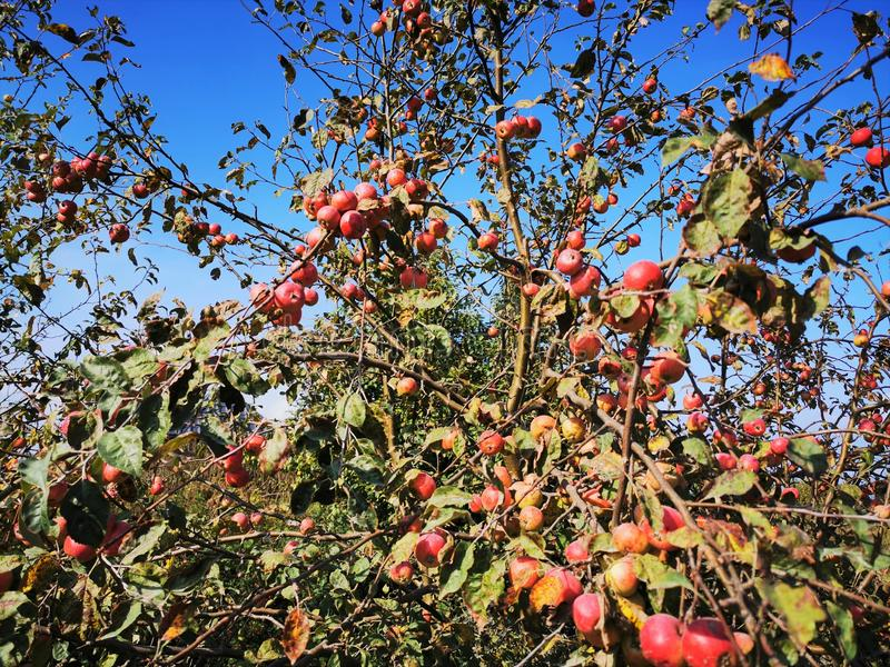Wild Apple trees. red apples on branches with leaves.  royalty free illustration