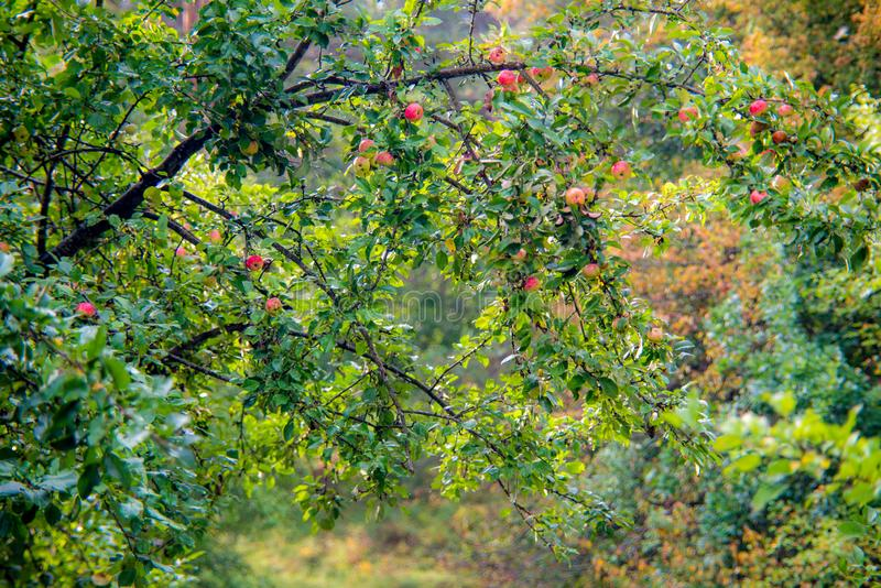 Wild apples tree in fall with fruits stock images