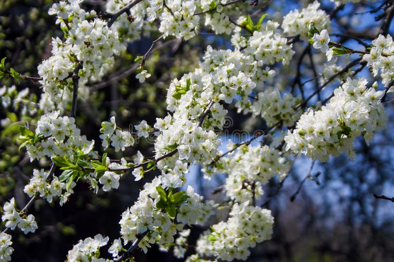 Wild apricot blossoms in spring stock photography