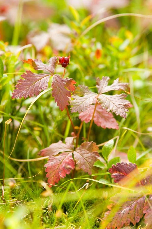 Wild Arctic raspberry royalty free stock photo