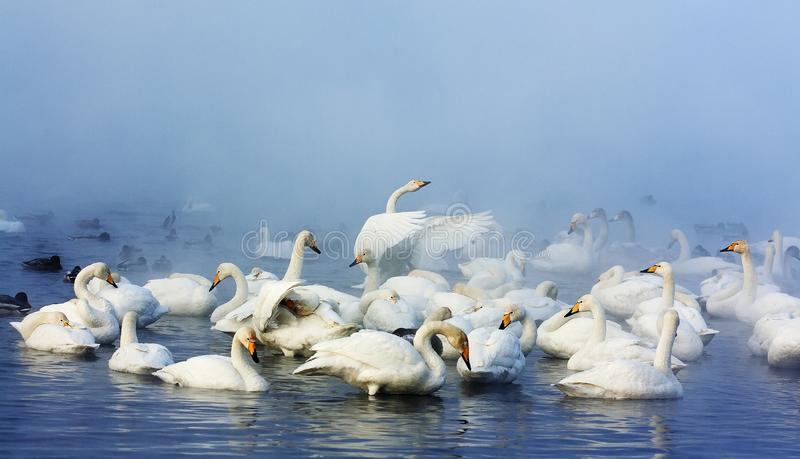 Wild Swans. Wild arctic swans winter on ice-free lakes in Siberia. An incredibly beautiful sight is accompanied by a multi-chorus chorus of birds royalty free stock photography