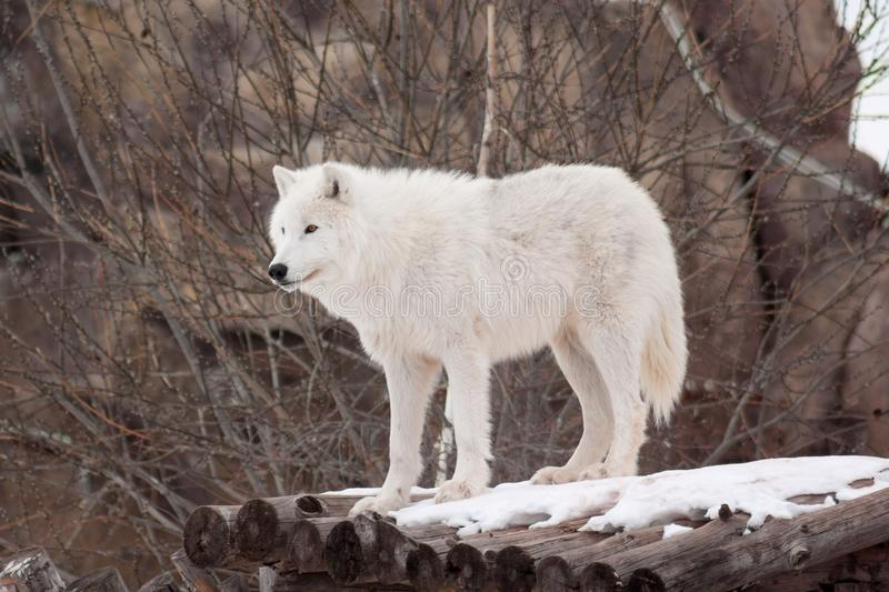 Wild arctic wolf is standing on wooden logs. Animals in wildlife. Polar wolf or white wolf. stock photo