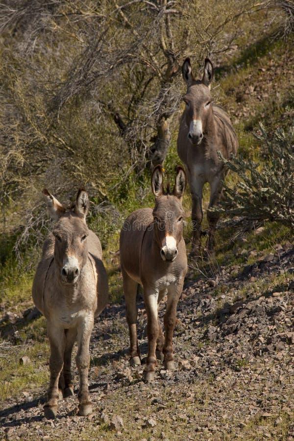 wild arizona burros royaltyfri bild