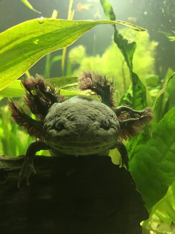 Wild-artiges erwachsenes Axolotlgesicht lizenzfreies stockbild