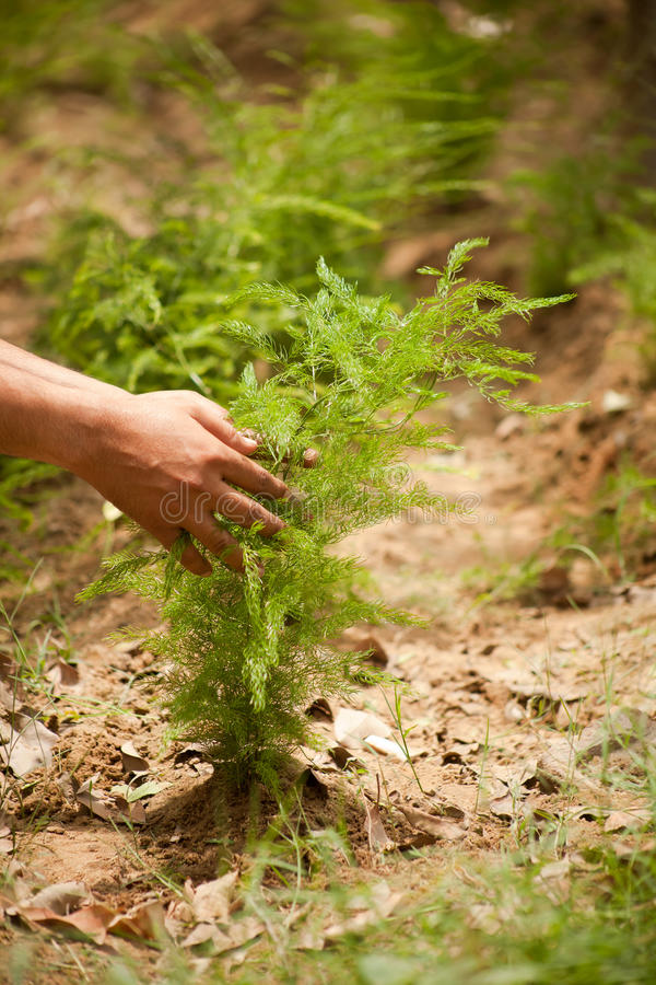 Wild asparagus. Plots planted with asparagus (Ayurvedic medicine) in field royalty free stock photo