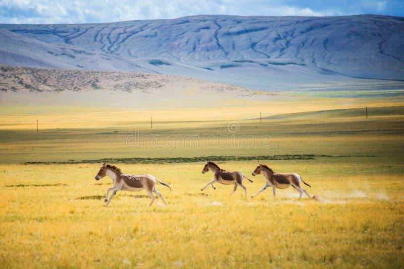 Wild running on the grassland stock photo