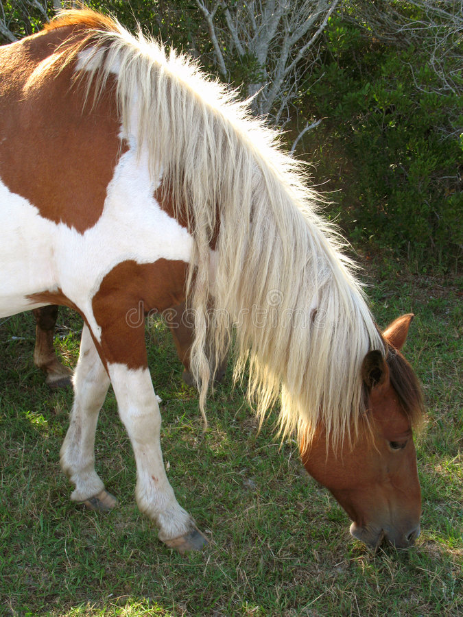 Download Wild Assateague Horse stock photo. Image of wild, national - 2987236