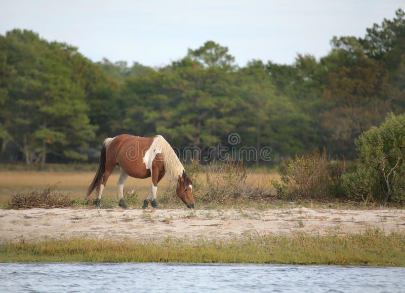 Wild assateague pony stock photos