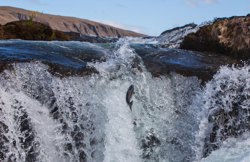 Wild Atlantic Salmon. Traveling up river in Iceland stock photo