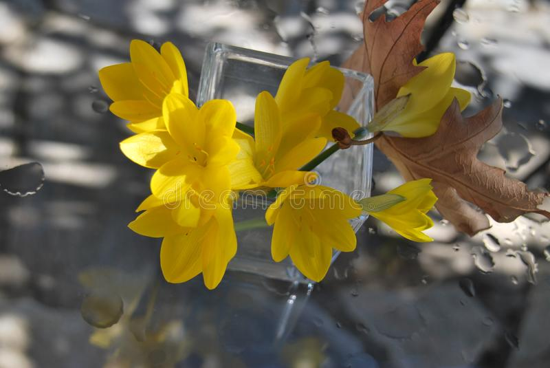 Yellow autumn crocuses in glas jar with brown leaf royalty free stock images