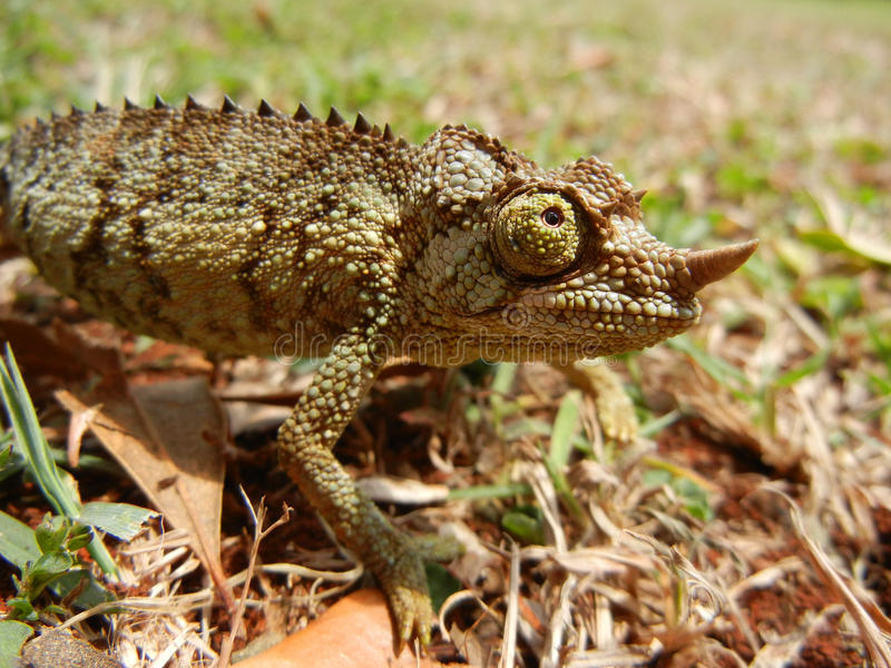 Wild baby chameleon walking on the grass. Tanzania stock photography