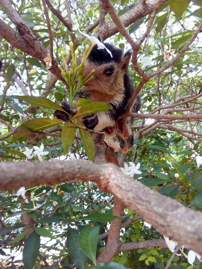 Wild baby grizzled giant squirrel in sri lanka. A pic of a beautiful baby grizzled giant squirrel in sri lanka. This animal is specific to sri lanka and it is royalty free stock images