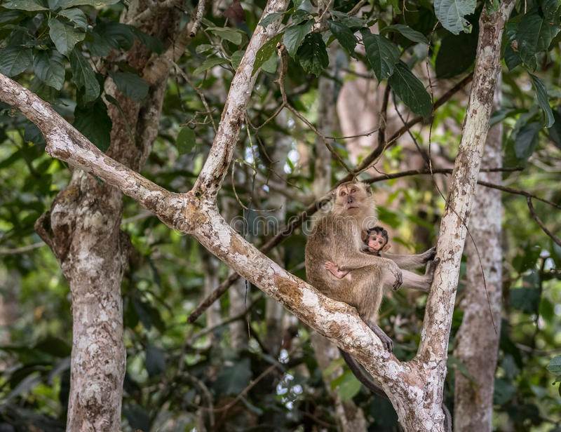 Wild baby long tailed macaque sucking breast milk from its mother stock photo