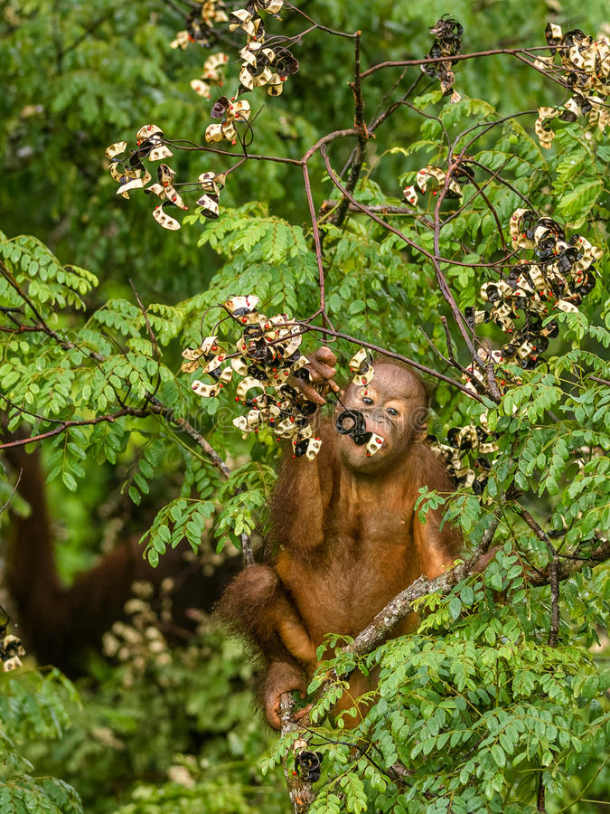 Wild Baby Orangutan Eating Red Berries in The Forest Of Borneo Malaysia royalty free stock image