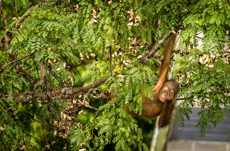 Wild Baby Orangutan Eating Red Berries in The Forest Of Borneo Malaysia royalty free stock photo