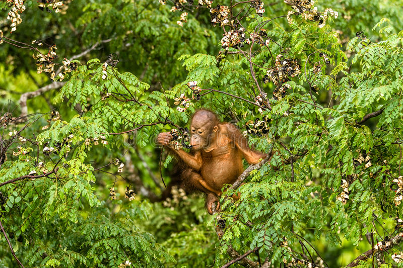 Wild Baby Orangutan Eating Red Berries in The Forest Of Borneo Malaysia stock image