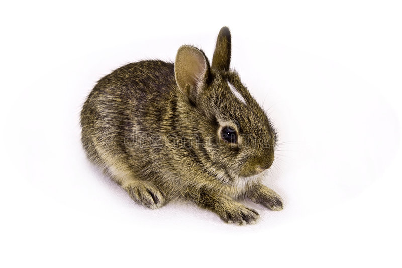 Wild baby rabbit. Baby rabbit in the studio royalty free stock images