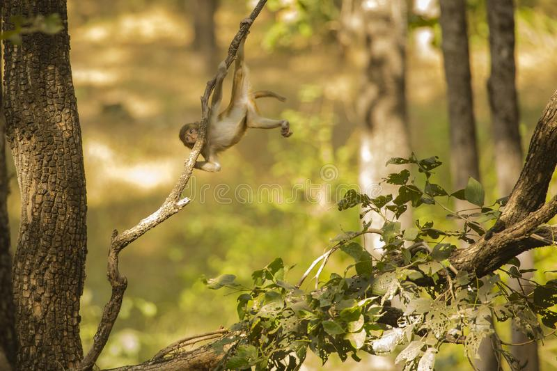 Wild Baby Rhesus Macaque Hanging Out on Branch stock photos