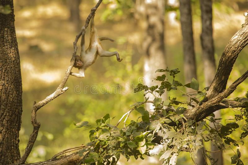 Wild Baby Rhesus Macaque Playing on a Branch royalty free stock image