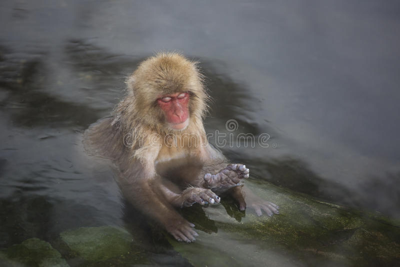 Wild Baby Snow Monkey Zen in Hot Springs. A cute little pink-faced, wild, baby Snow Monkey relaxing in natural hot springs surrounded by steam,sits in a zen-like stock image