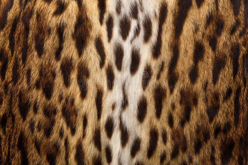Wild background, leopard skin texture. Leopard pattern, animal print background and texture royalty free stock photo