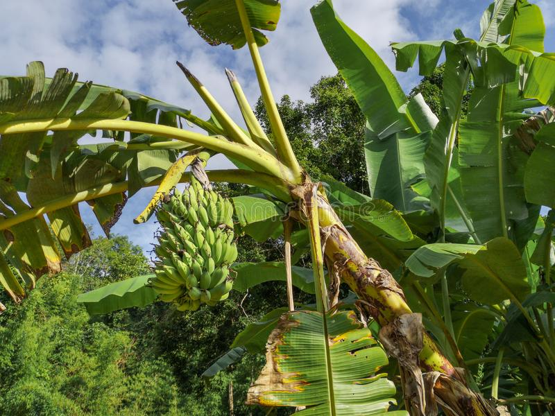 Wild banana tree crown in the tropics with one bunch of bananas hanging down, beautiful tropical background with banana tree royalty free stock photos
