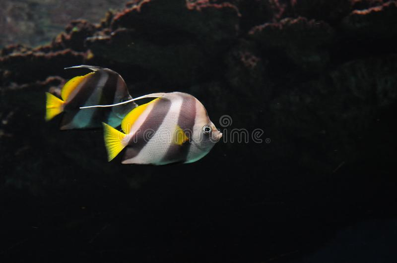 Wild banner fish in the nature. Wild banner fish black white yellow ocean water nature swimming royalty free stock photography