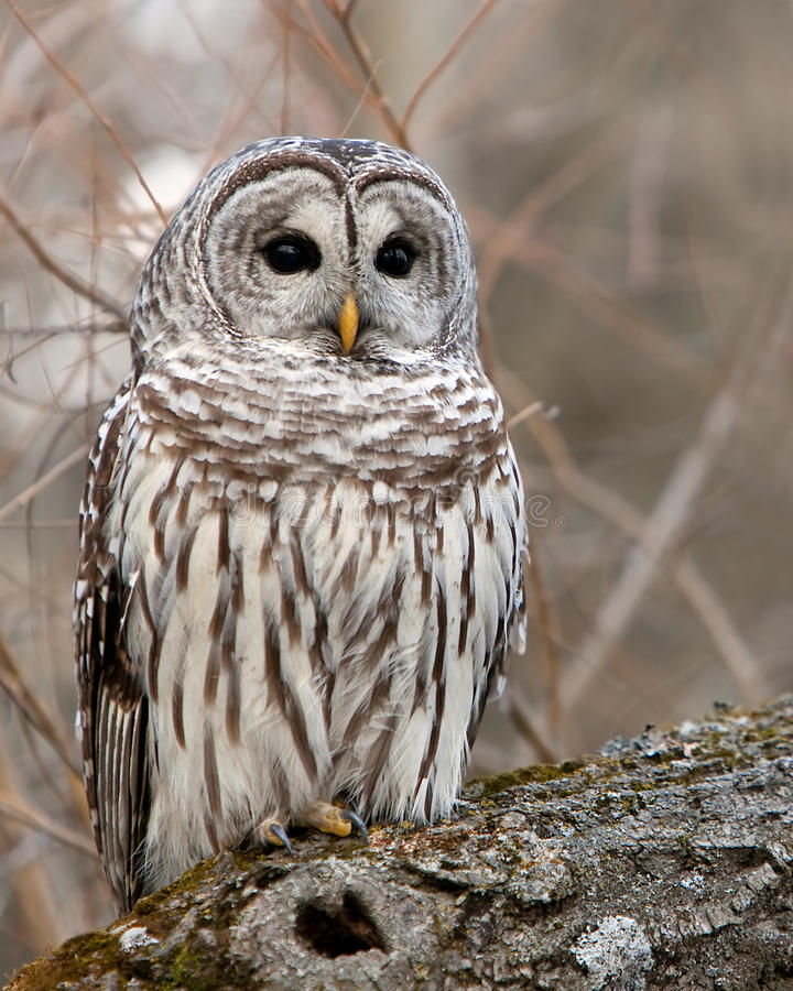 Download Wild Barred Owl stock image. Image of barred, wildlife - 15842837
