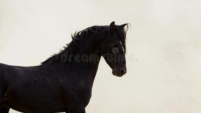 A wild bay mustang of the Onaquai wild horse herd. Standing stoically in the desert of Nevada, United states stock photo