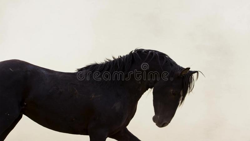 A wild bay mustang of the Onaquai wild horse herd. Standing stoically in the desert of Nevada, United states royalty free stock image