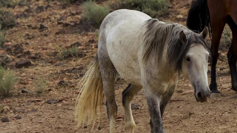 A wild bay mustang of the Onaquai wild horse herd. Standing stoically in the desert of Nevada, United states stock images