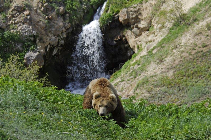 Download Wild bear stock photo. Image of nature, predator, kamchatka - 26669560