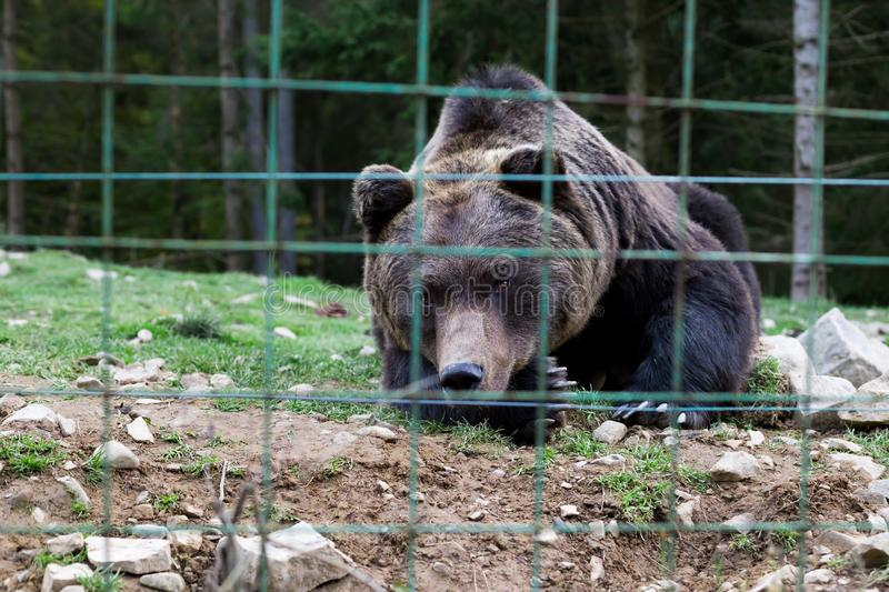 Wild bear in cage, looks at camera,. SYNEVIR GLADE, UKRAINE - CIRCA OCT 2017: Brown bear rehabilitation center. Wild bear in cage, looks at camera, close up shot stock image
